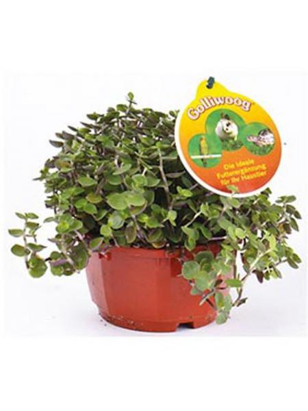Golliwoog / Cubaguu Futterpflanze